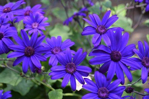 blue  purple  blossom