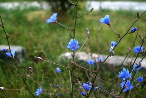 blue  flowers  picture