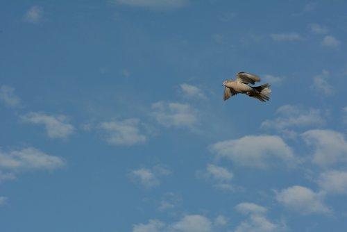 blue  air  pigeon