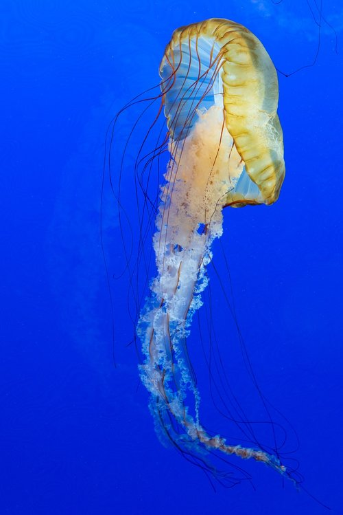blue  jellyfish  animal