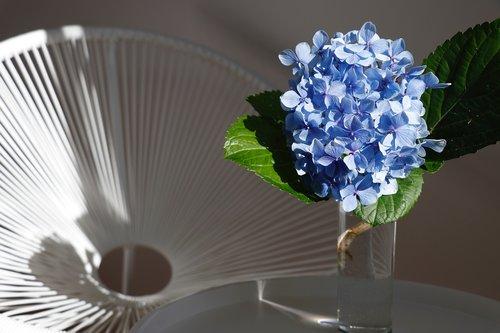 blue  white  hydrangea