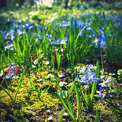 blue flower spring