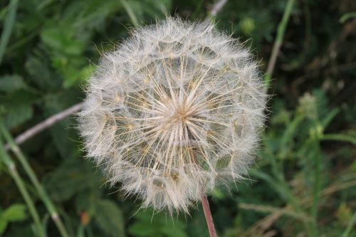 blue close-up dandelion
