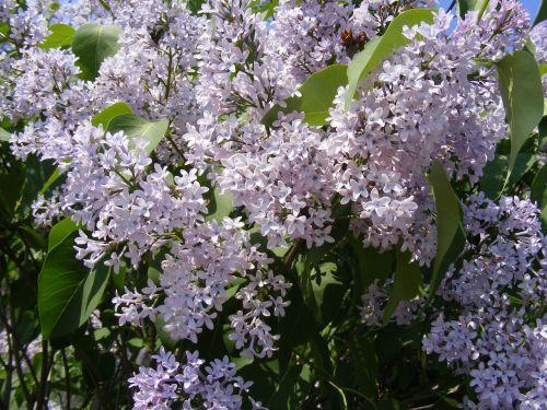blue flowers lilac