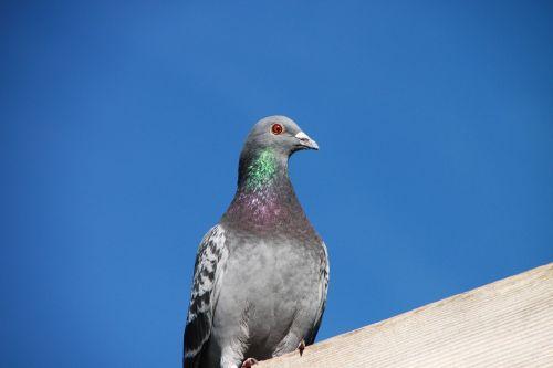blue house pigeon