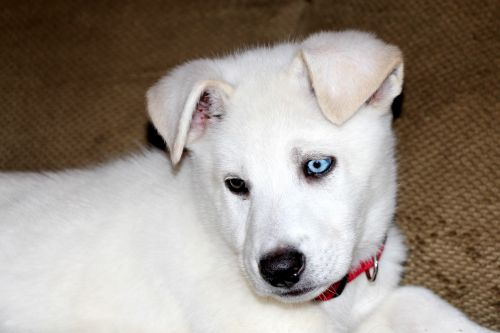 Blue And Brown Eyed Puppy 2