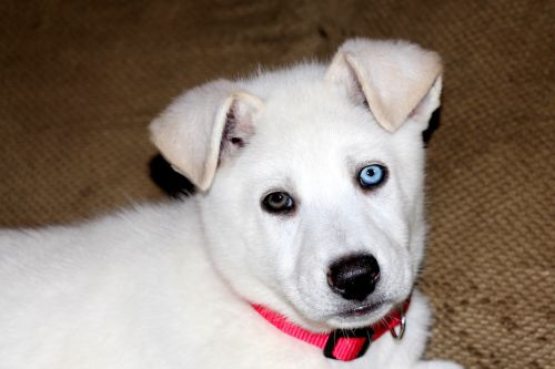 Blue And Brown Eyed Puppy 3