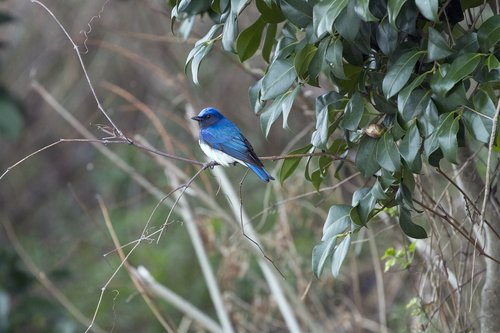 blue-and-white flycatcher  blue bird  spring