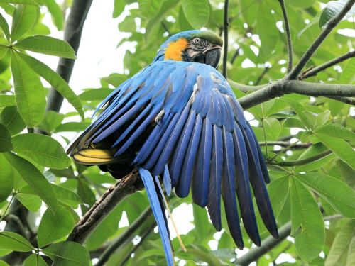 blue and yellow macaw parrot blue bird