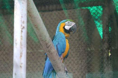 blue and yellow macaw  macaw  bird