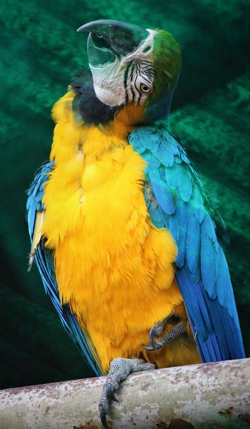 blue and yellow macaw  bird  nature