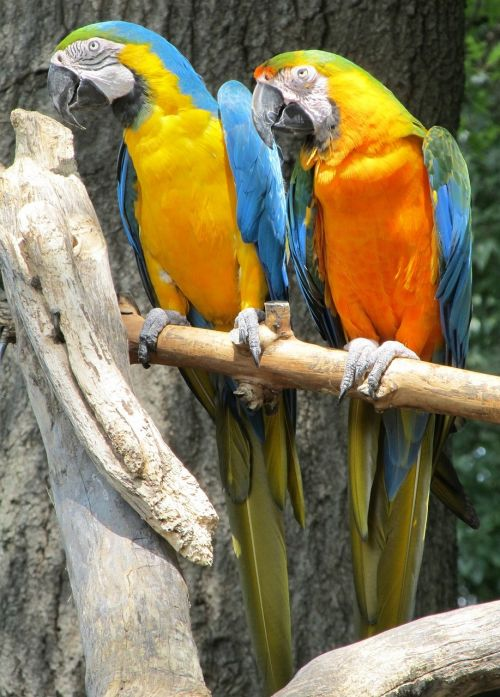 blue-and-yellow macaws parrots birds