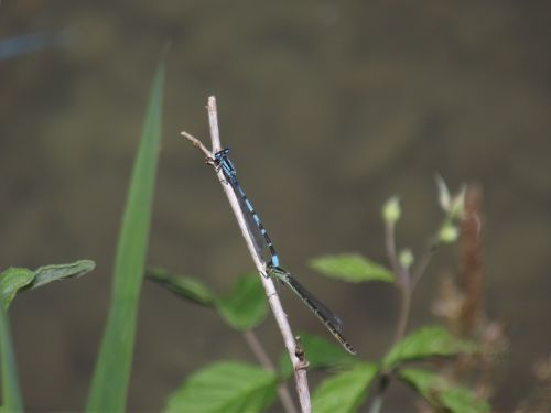 blue bar bubble dragonfly insect