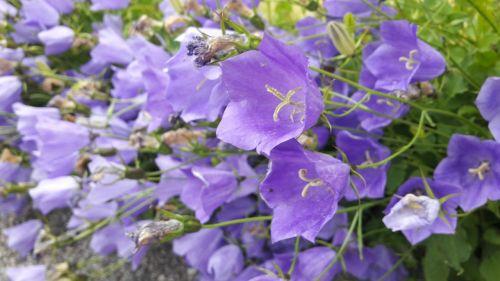 blue bell plant klocklika flowers