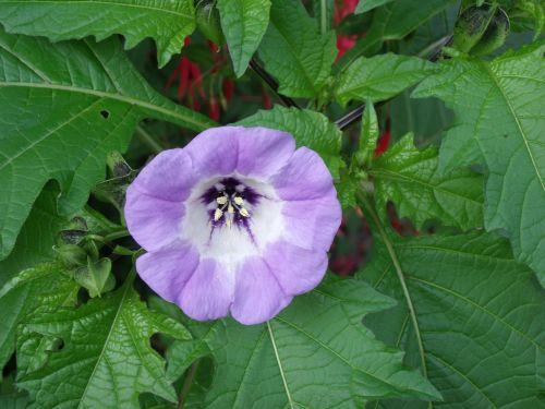 blue bell plant nightshade