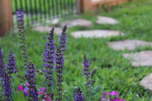 blue bonnet nature plant