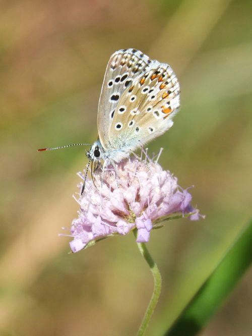 blue butterfly blaveta commune polyommatus icarus