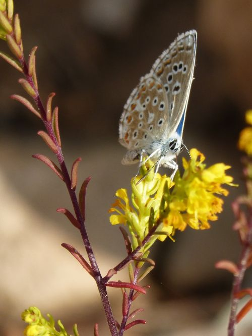 blue butterfly polyommatus icarus libar