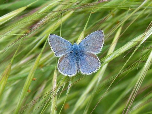 blue butterfly  butterfly  blaveta commune