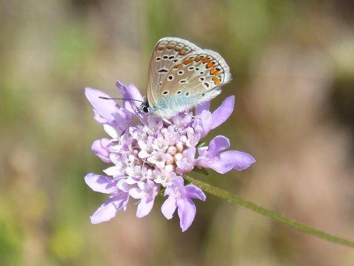 blue butterfly  blaveta commune  flower