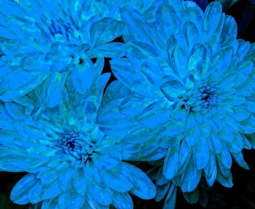 Blue Chrysanthemums