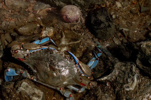 blue crab  hermit crab  sea