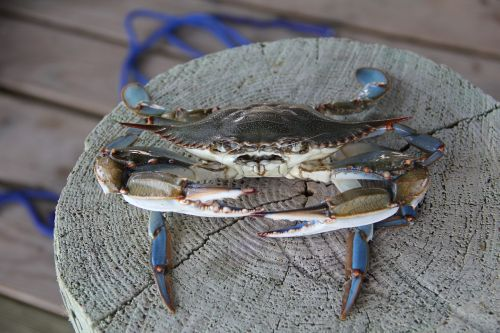 blue crab crab louisiana