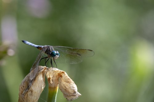 blue dasher dragonfly  dragonfly  insect