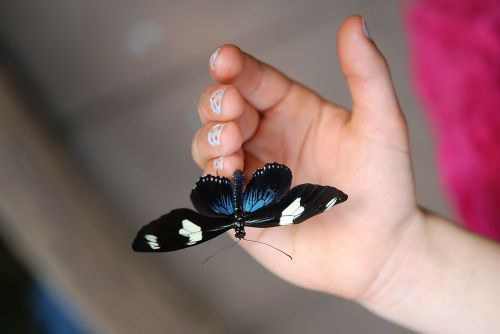 mėlynas doris,drugelis,makro,vabzdys,drugeliai,vabzdžiai,sparnai,juoda,gyvūnas
