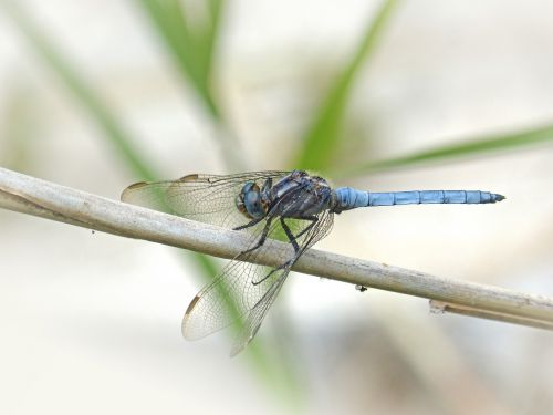 blue dragonfly winged insect orthetrum brunneum