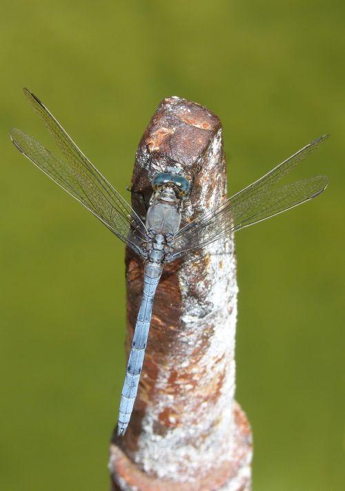 blue dragonfly raft orthetrum coerulescens