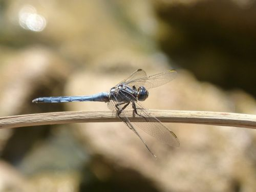 blue dragonfly branch wetland