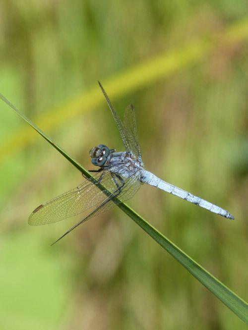 blue dragonfly leaf greenery