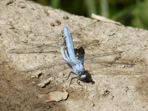 blue dragonfly couple mating