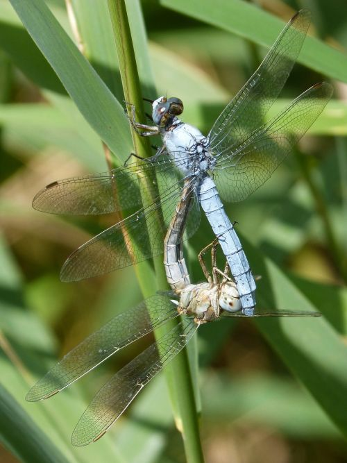 blue dragonfly american cane reproduction