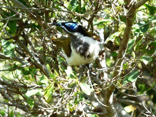 blue ear-honey-eater bird exot