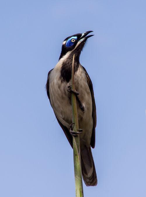 mėlynas veidas medaus žaislas, paukštis, egzotiškas, honeyeater, alyvuogių, balta, mėlynas, dainuoti, laukiniai, plunksnos, mėlynas dangus, Queensland, australija