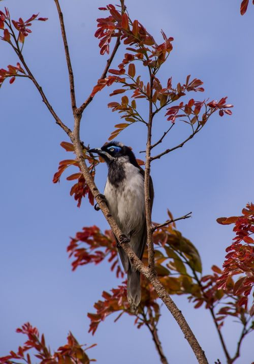 blue faced honeyeater bird exotic