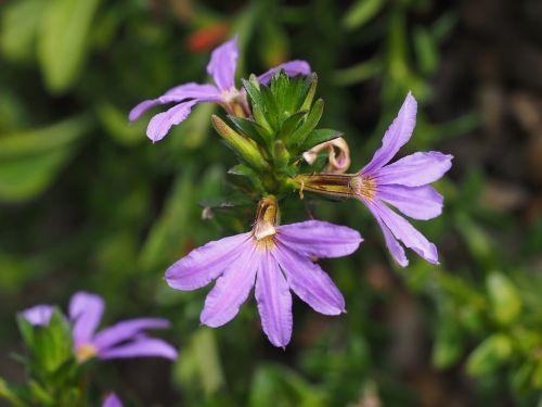 blue flower fan blueme blossom