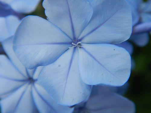 blue flowers macro blossom