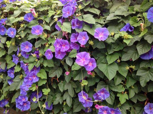 blue flowers morning glory creeper