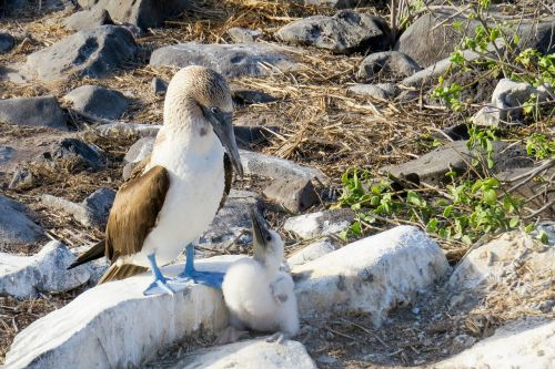 blue-footed booby booby bird