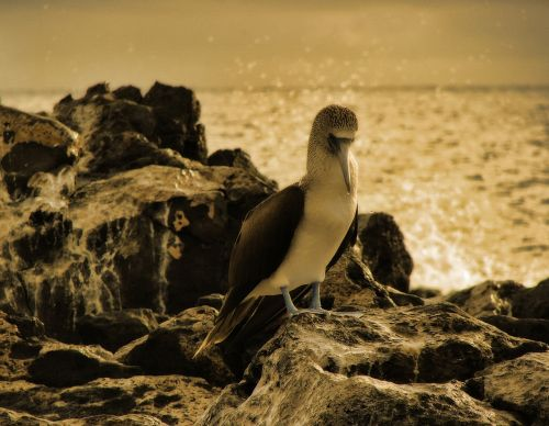 blue footed booby bird animal