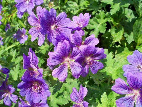 blue geranium perennial geranium purple