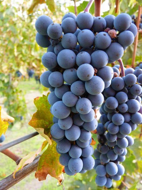 blue grapes grape plant