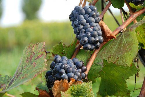 blue grapes grapes autumn