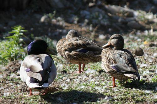 blue headed mallard mallard duck purple head
