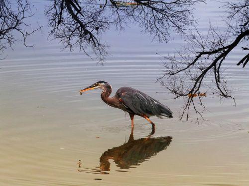 blue heron water bird bird