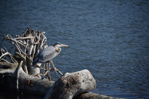 Blue Heron Perched