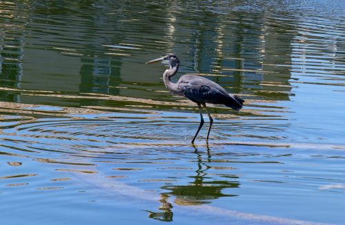Blue Heron Standing In A Lake